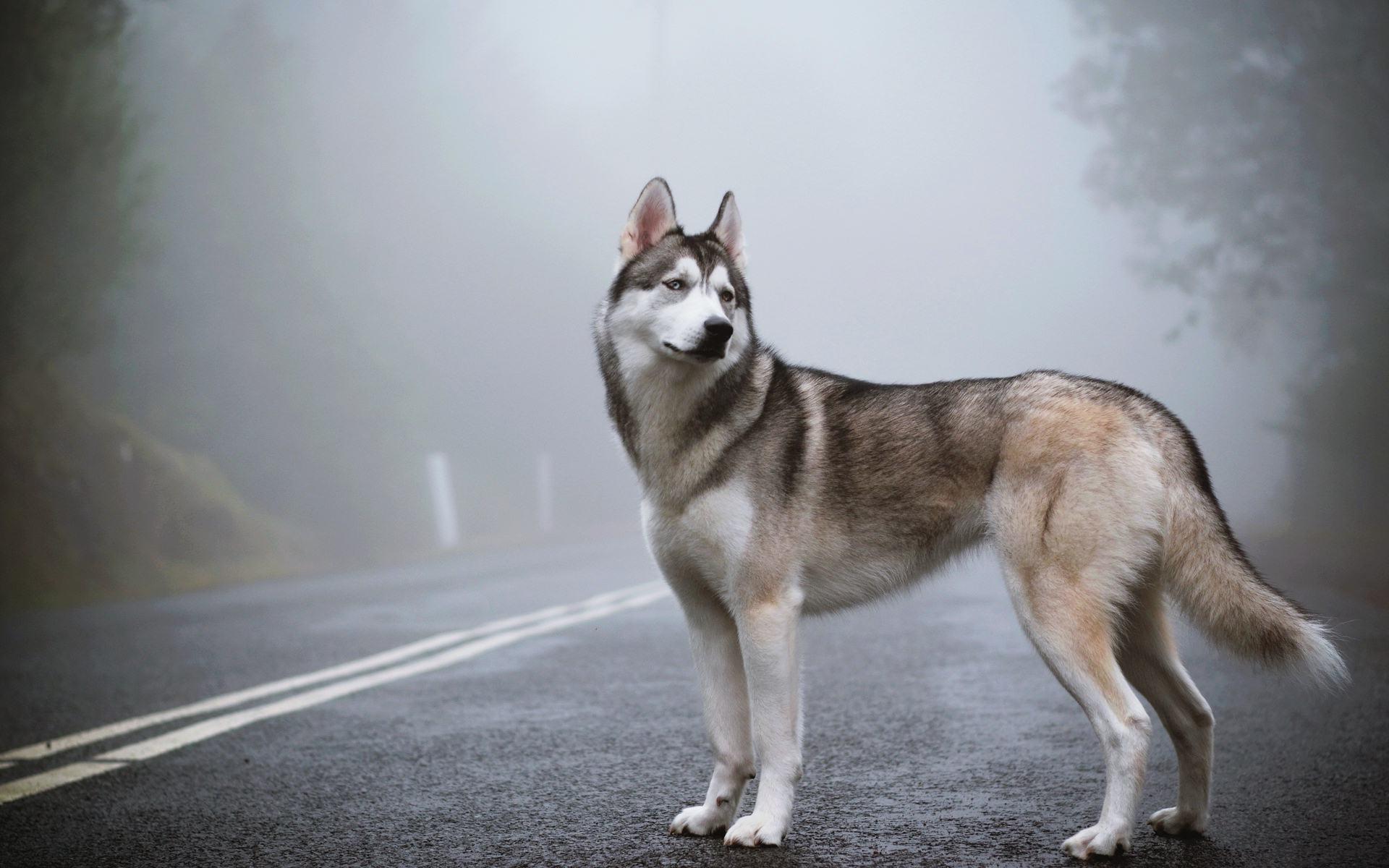 71 Husky Dog Wallpaper On Wallpapersafari