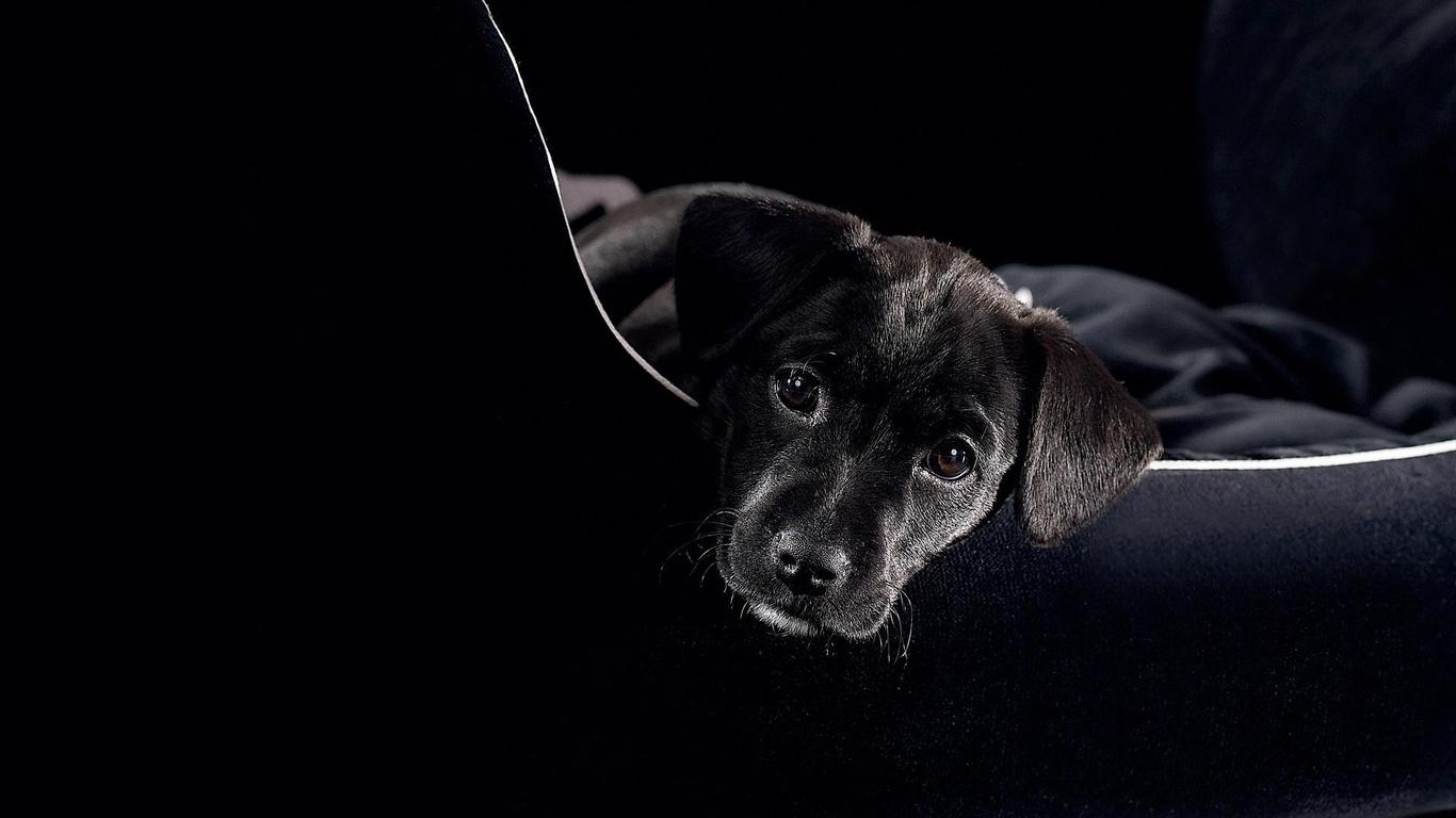 Pics Photos   Black Lab Puppy Hd Wallpaper Desktop 1366x768