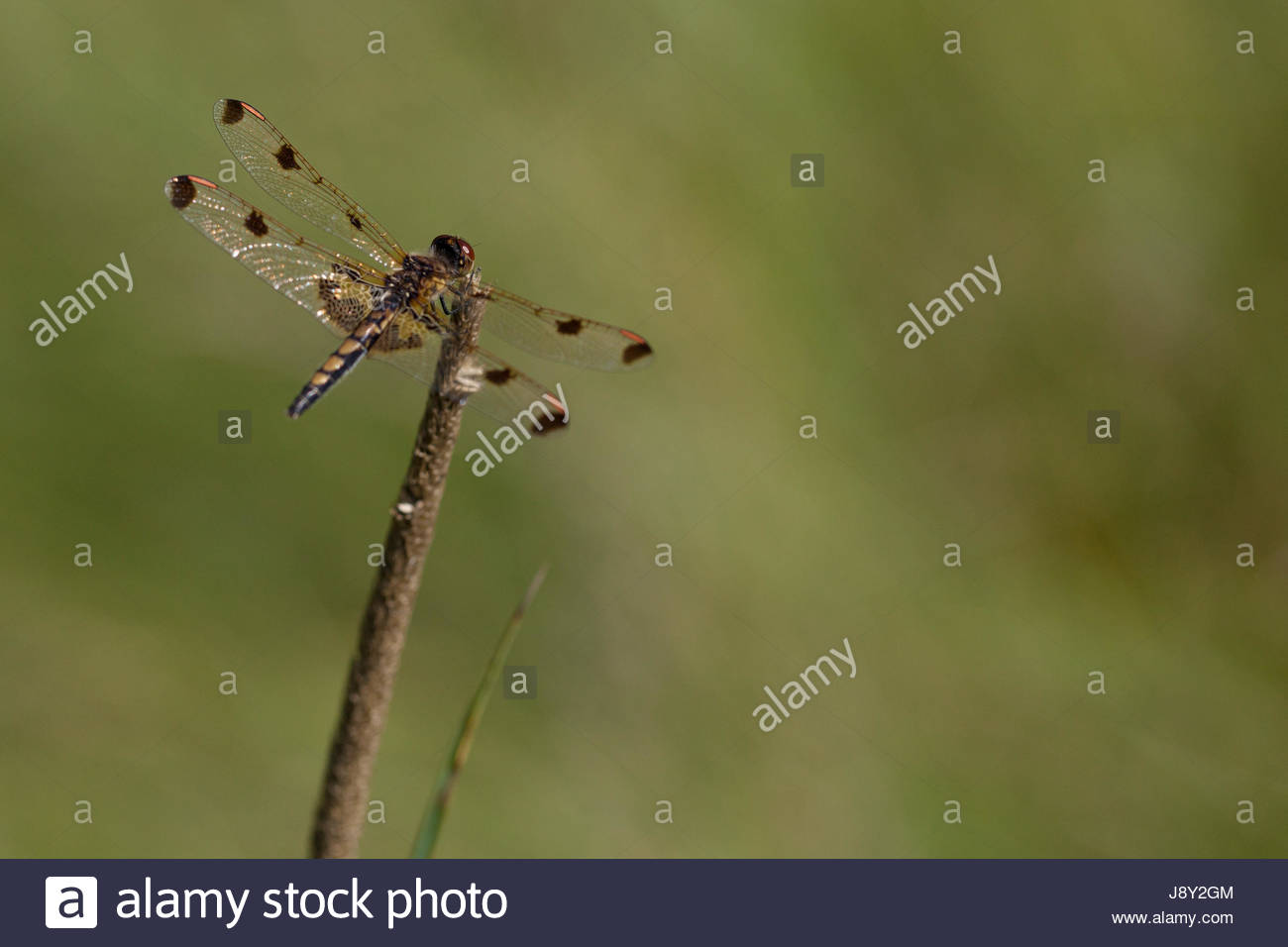 Pretty dragonfly clamped on a twig Isolated on a blurry 1300x956