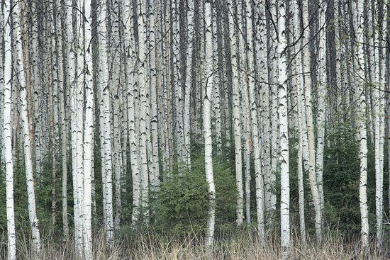 birch bark the birch bark tree is native to the northeast woodlands 550x367