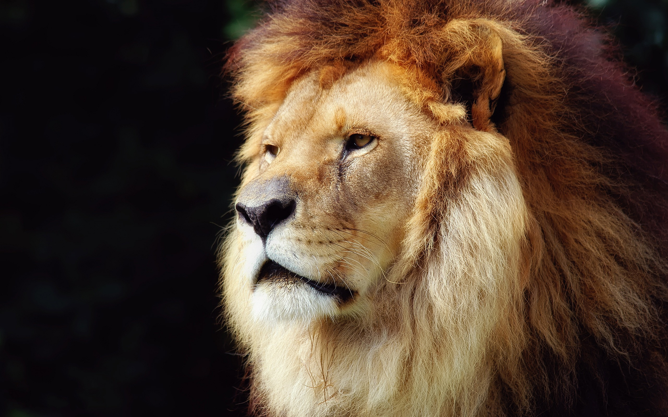 Lion wallpaper for phone dowload 3d hd picture design download 2560x1600