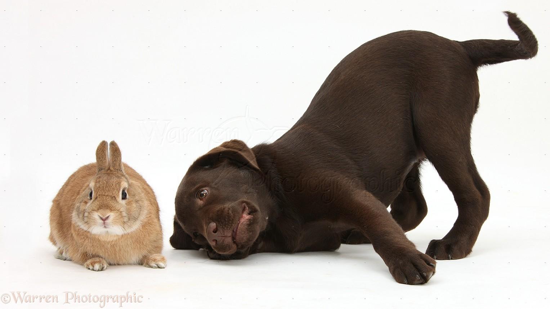 Puppy World Chocolate Lab Puppy Photos 1527x858