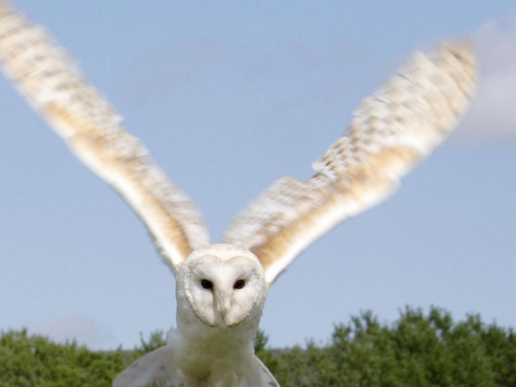 Snowy Owl Flying Wallpaper Snowy Owl Flying 1024x768