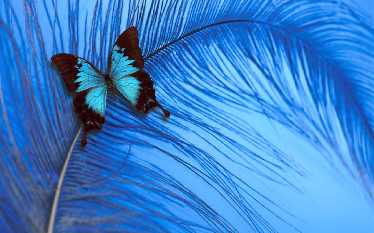 yorkshire rose images Blue Butterfly HD wallpaper and background 1280x800