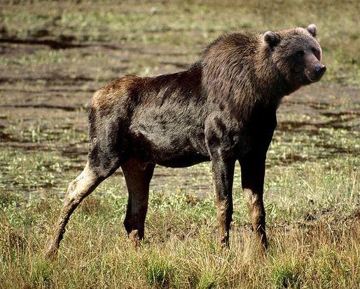 Bear moose hybrid Geographic Animals National Geographic Wild 514x412