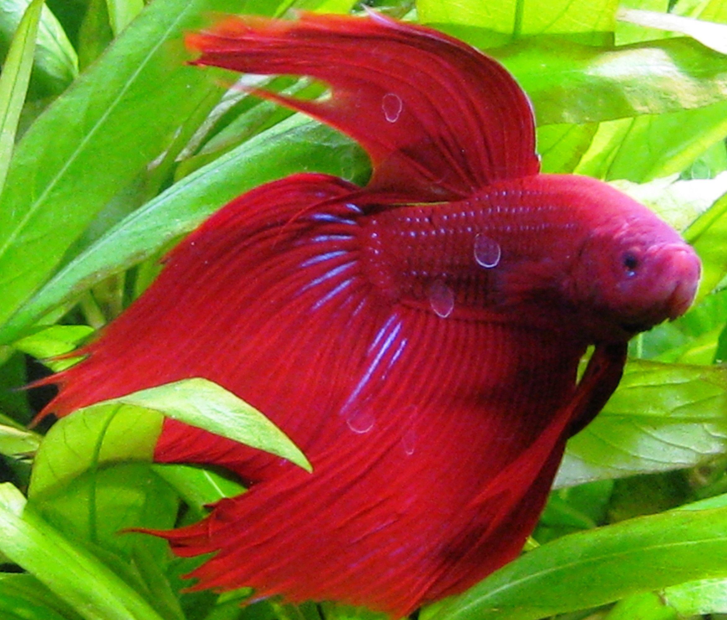 Red Fish Wallpaper - WallpaperSafari