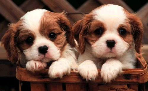 dogs and puppies lovely and pretty pictures of cute dogs 500x309