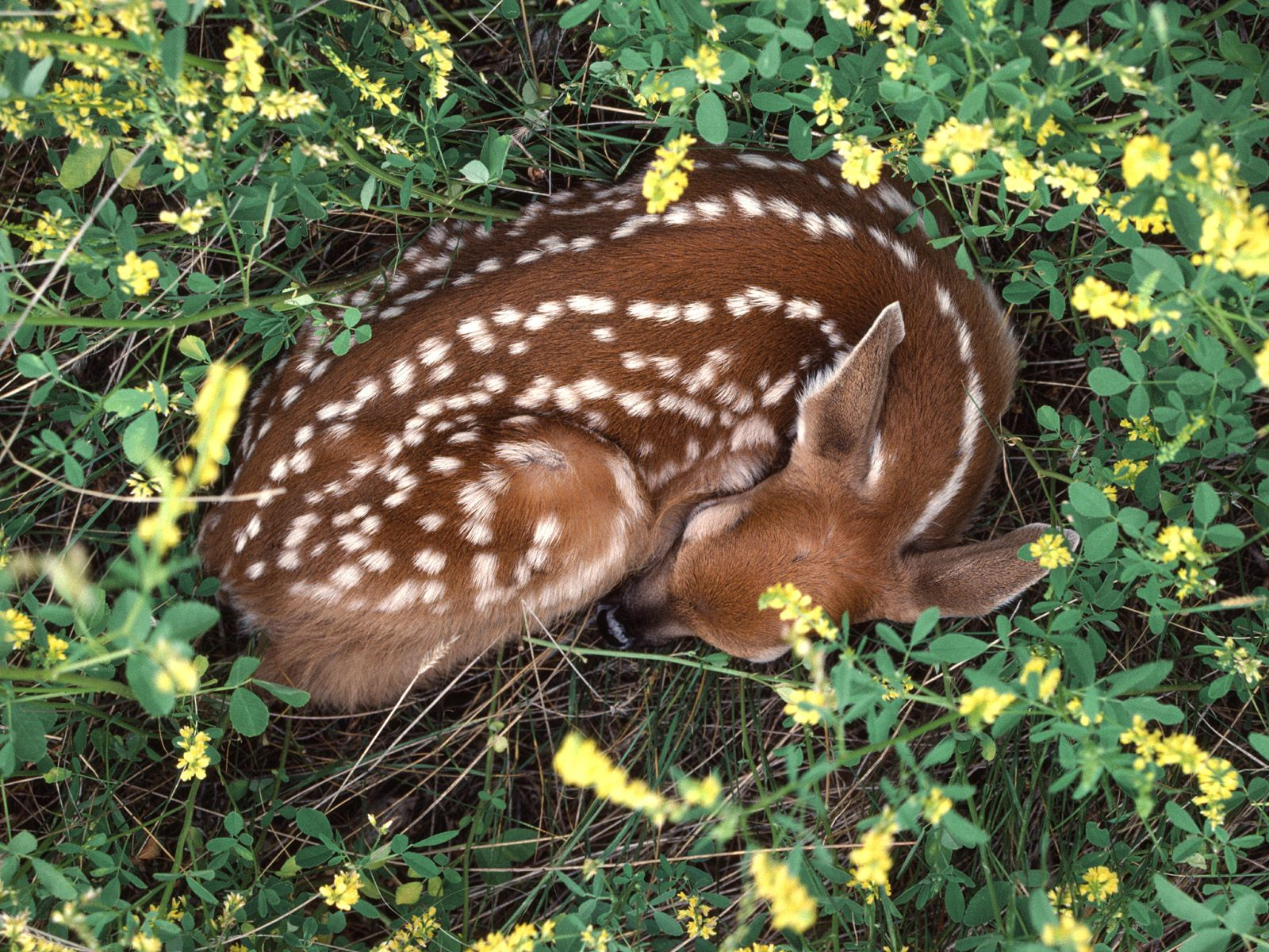Sleeping Whitetail Fawn   Deer Wallpaper 1600x1200