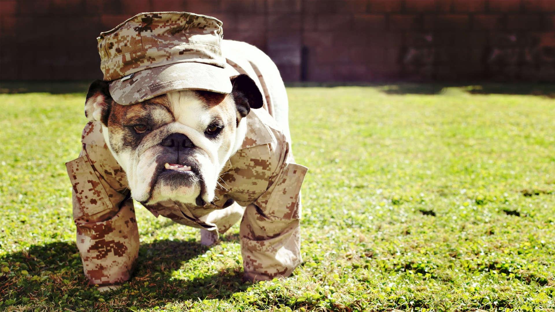 English Bulldog Wallpa...