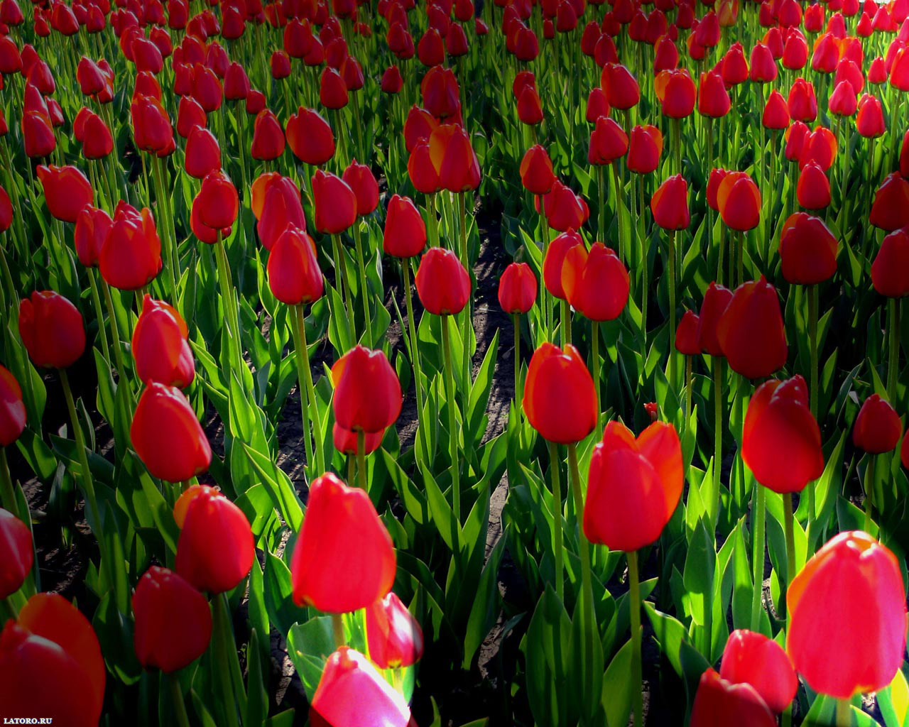 Flowers Desktop Wallpapers FREE on Latorocom 1280x1024