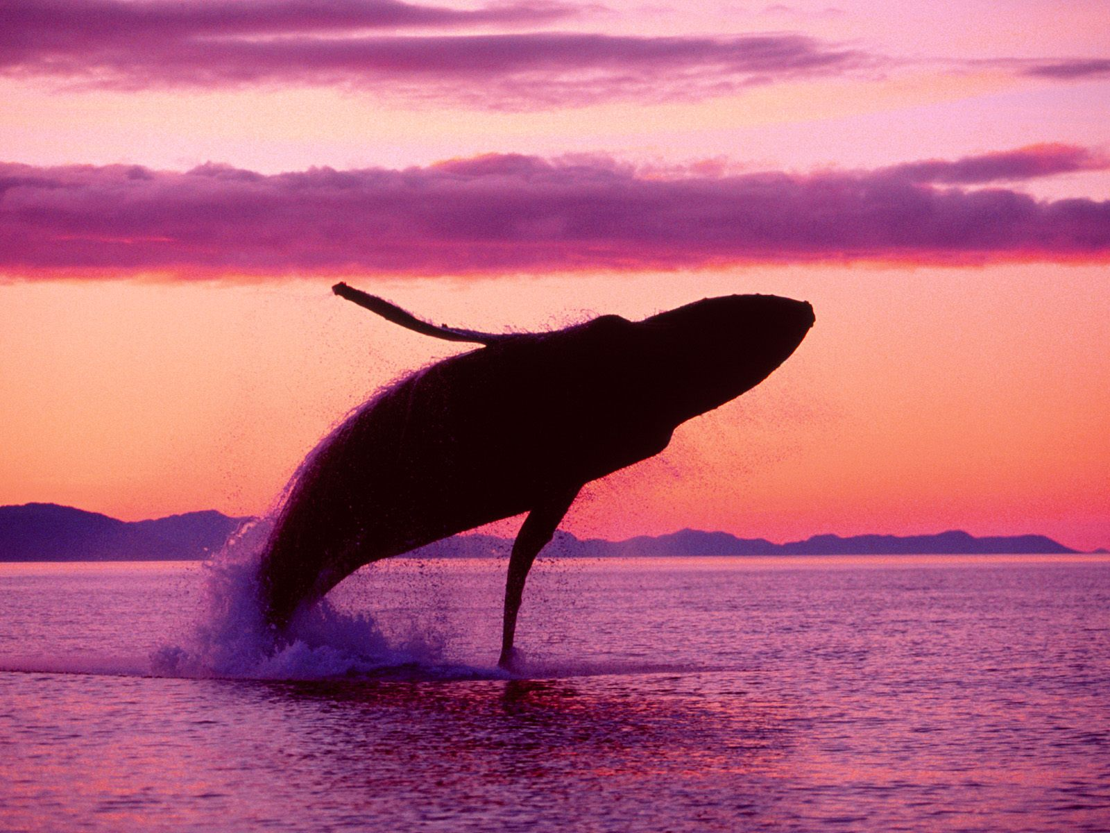 Humpback Whale Images amp Pictures   Becuo 1600x1200