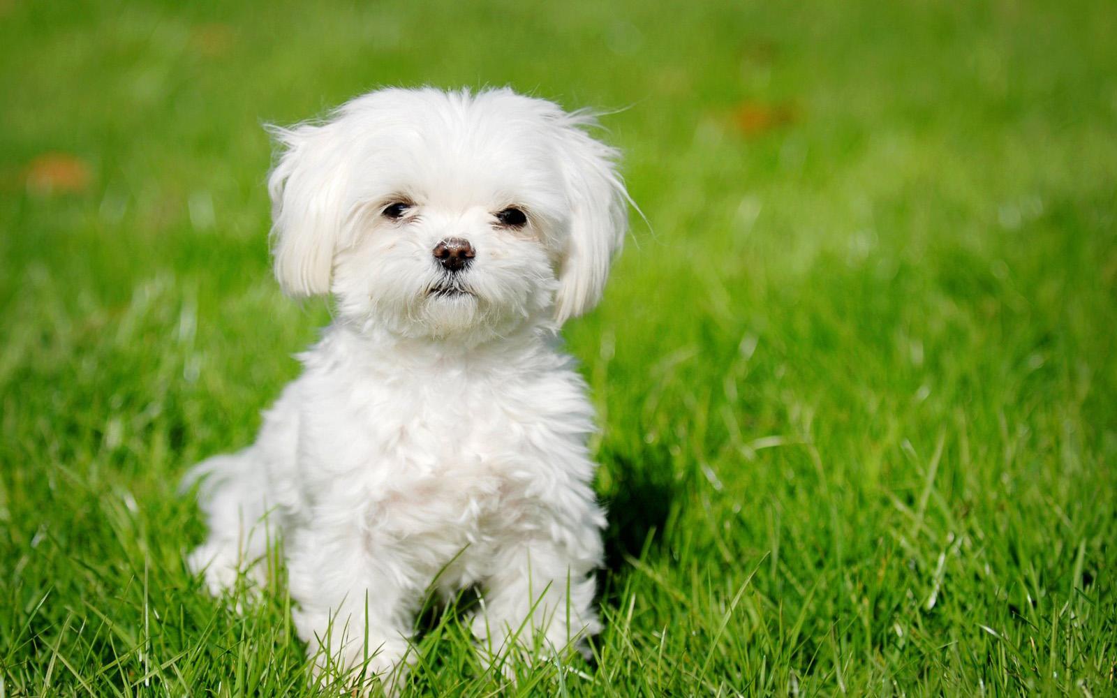 Download Beautiful Maltese Dog Puppy Wallpaper Full HD Wallpapers 1600x1000