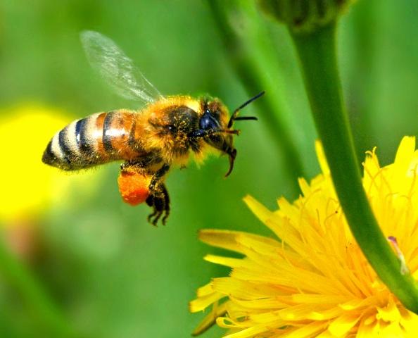 Wallpapers Honey Bee Autan Wallpapers 594x480