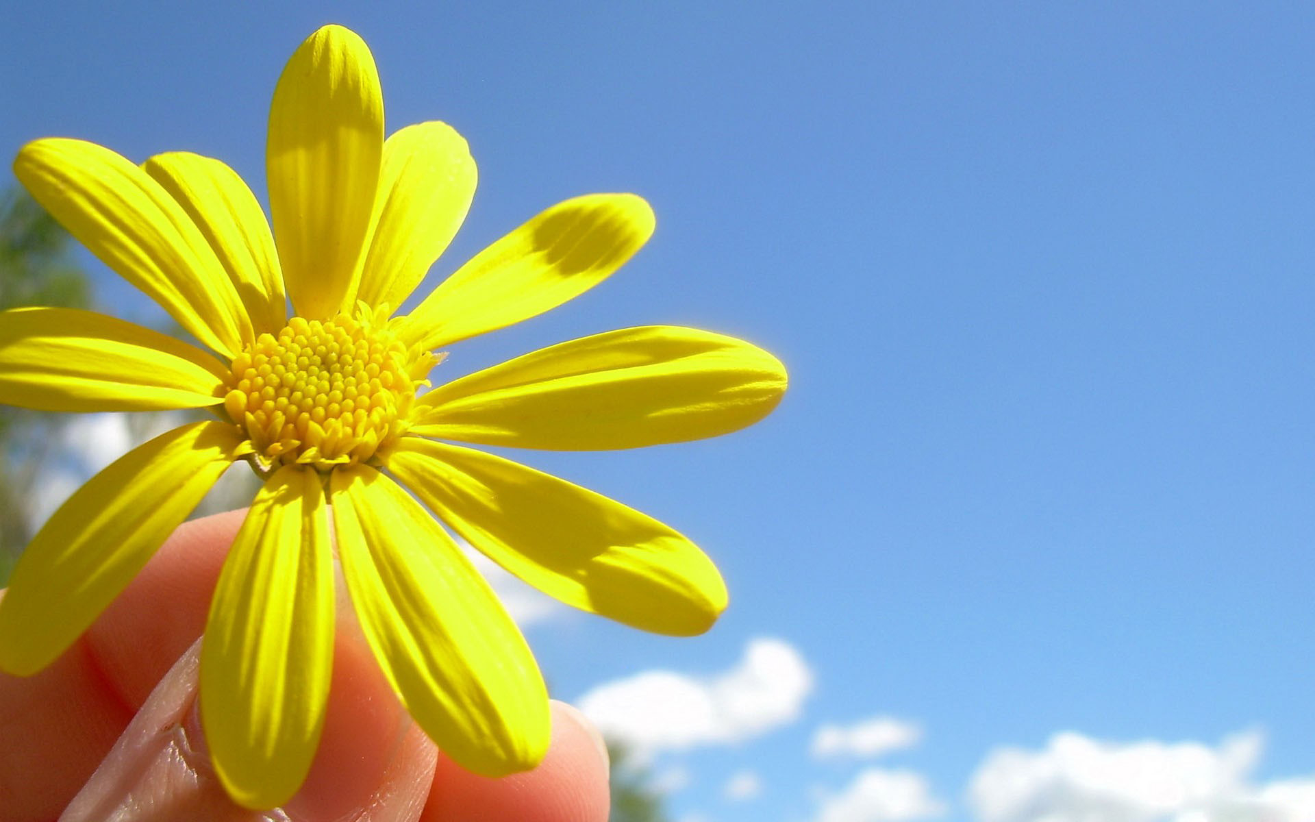 Sunny flower wallpapers and images - wallpapers, pictures, photos