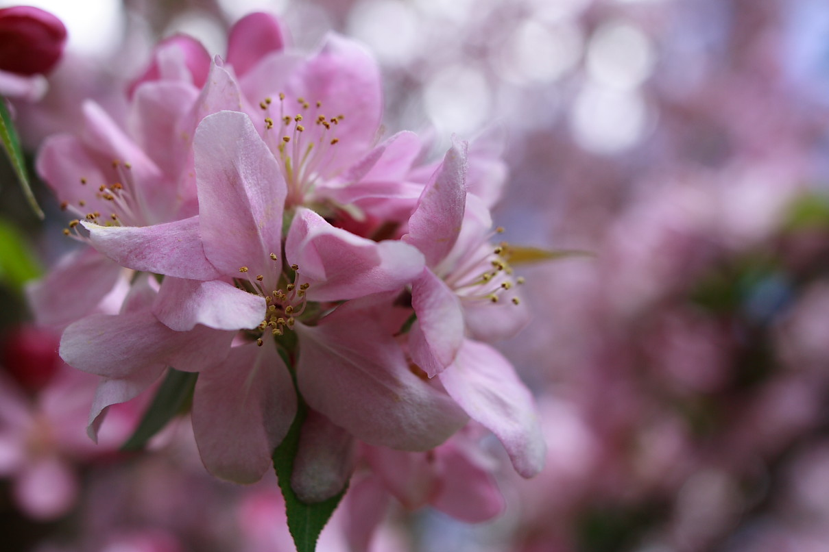 Apple Blossom   Spring Flower Wallpaper   Apple Blossom   Spring 1209x806