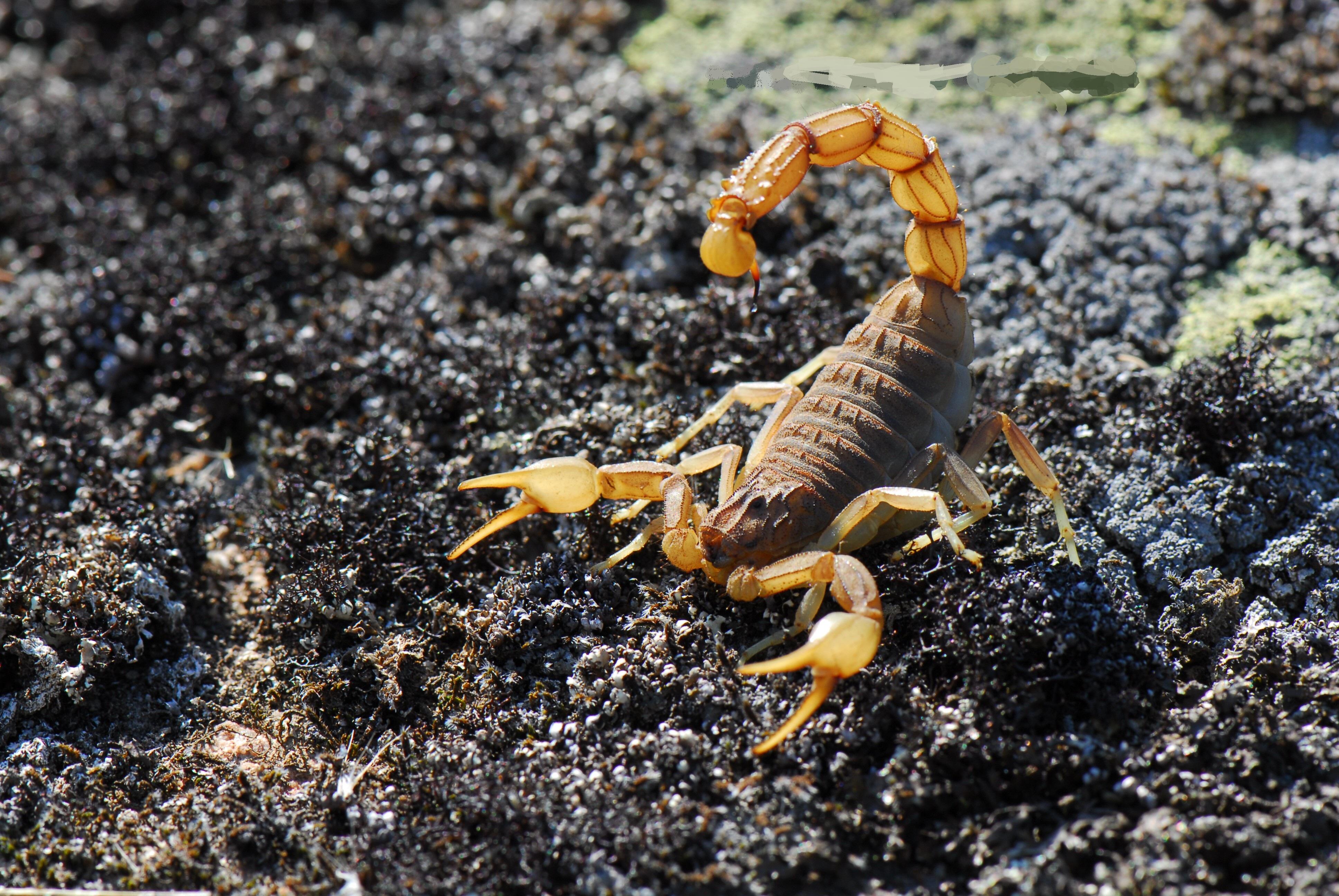 Scorpion Computer Wallpapers Desktop Backgrounds 3872x2592