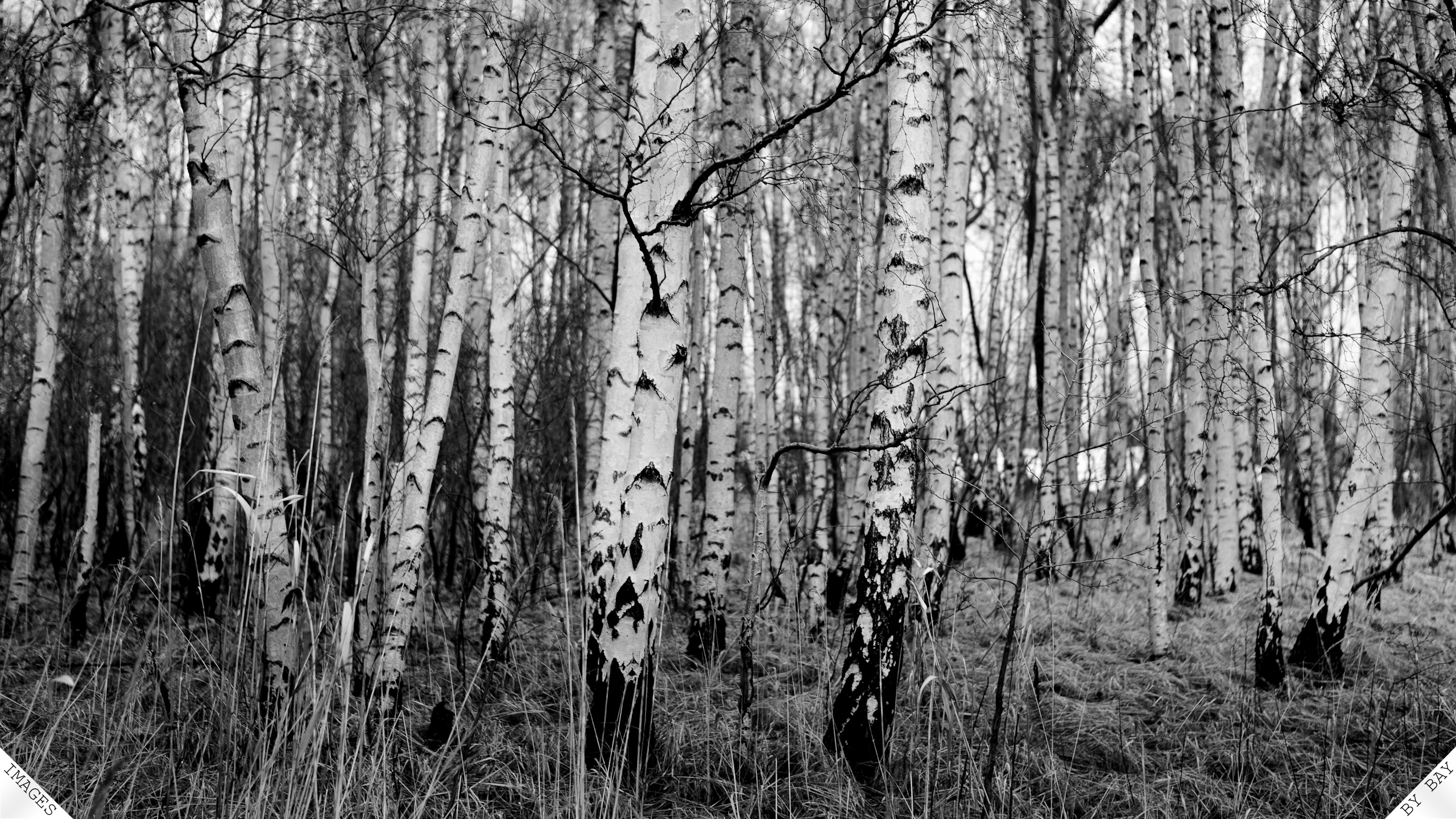 Natural Black White Birch Trees With Resolutions 25601440 Pixel 2560x1440