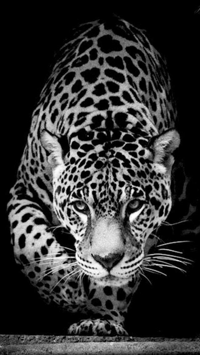 Black Jaguar Animal Hd Wallpapers   32 images Jaguar animal 640x1136
