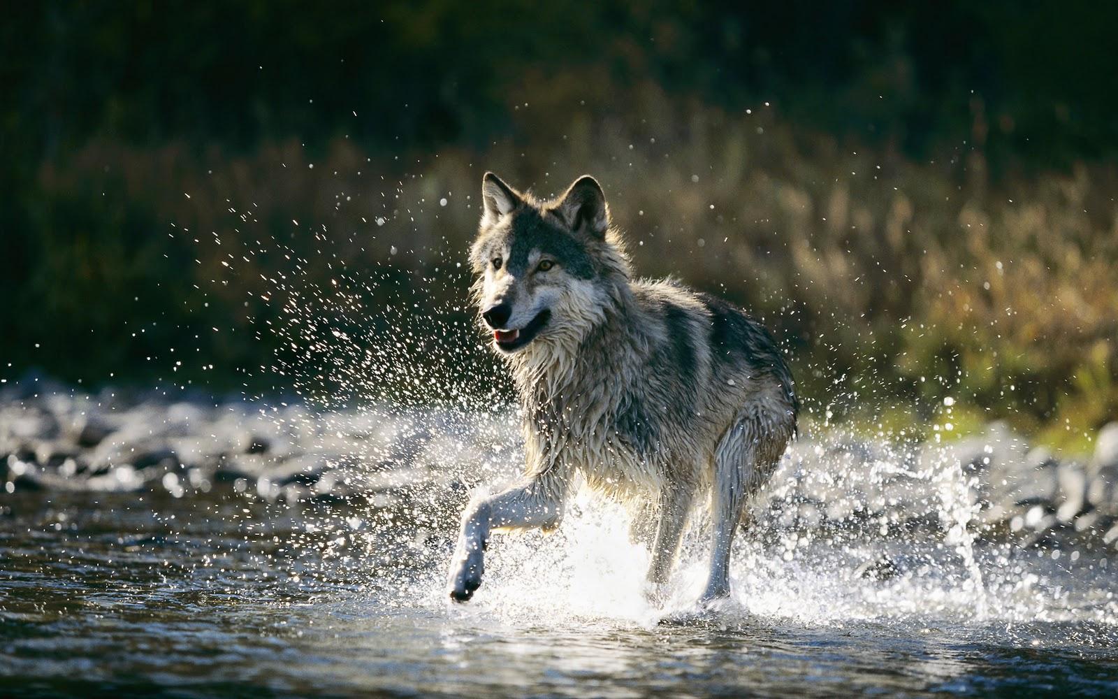 wolf wallpaper background 1600x1000