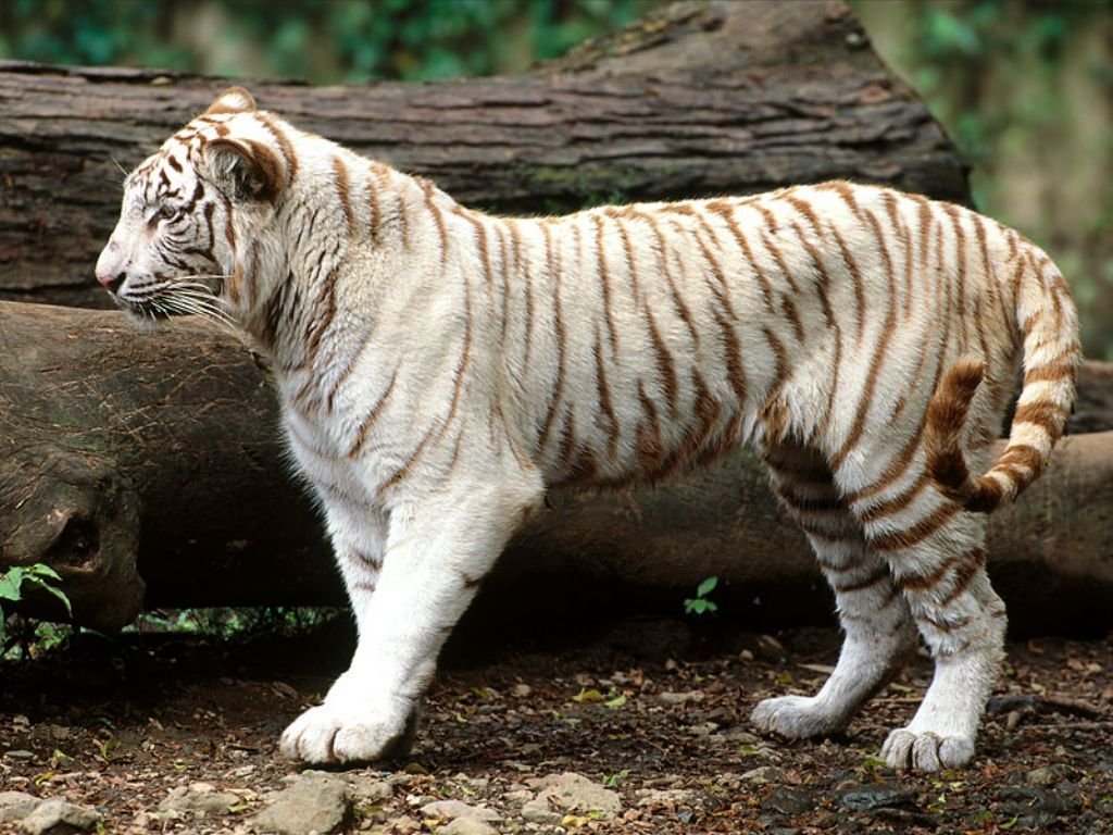 Japan White Tiger HD Wallpapers for Desktop 1024x768