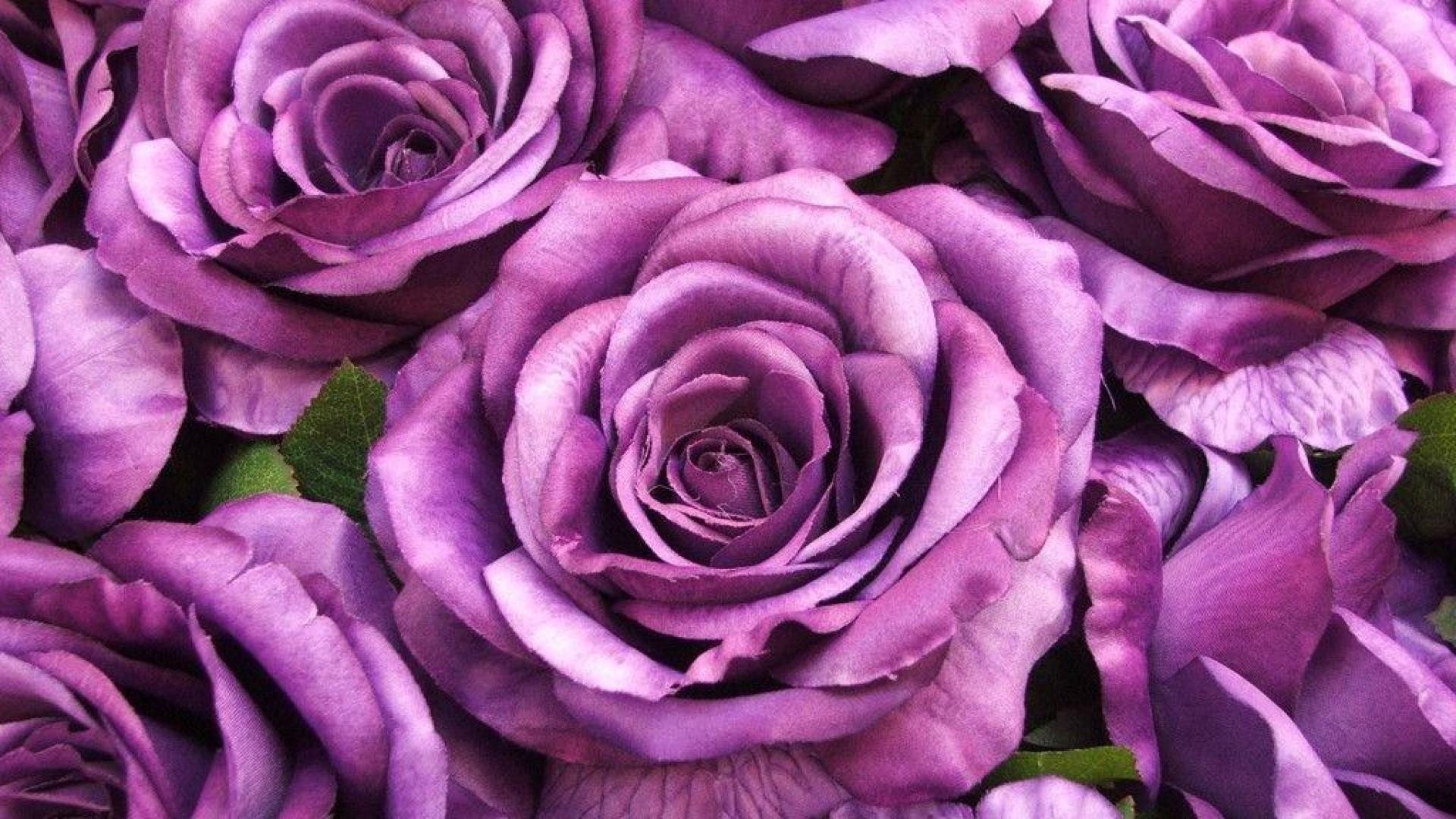 Purple roses wallpaper wallpapersafari - Big rose flower wallpaper ...