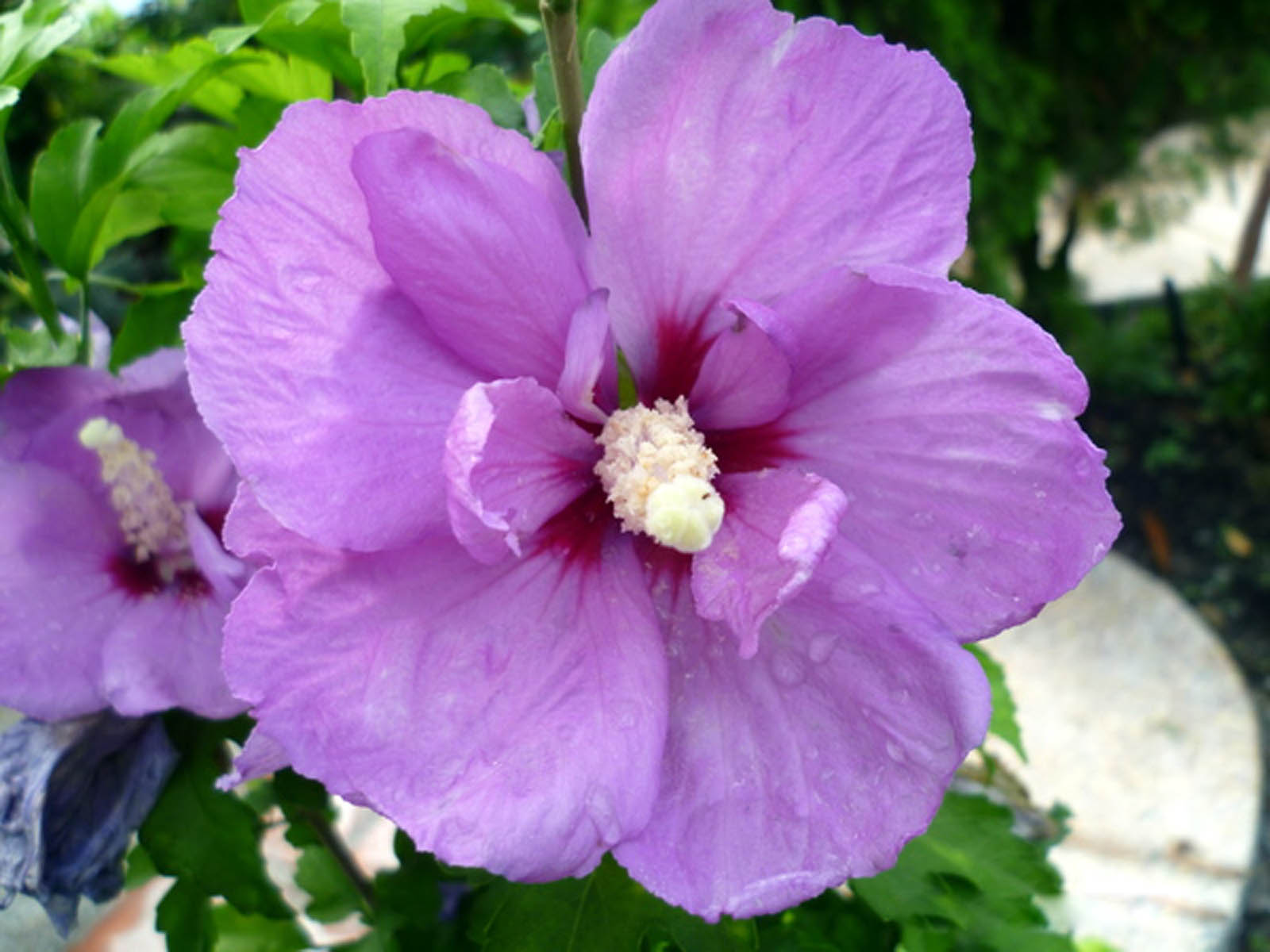 tag pink hibiscus flower - photo #26