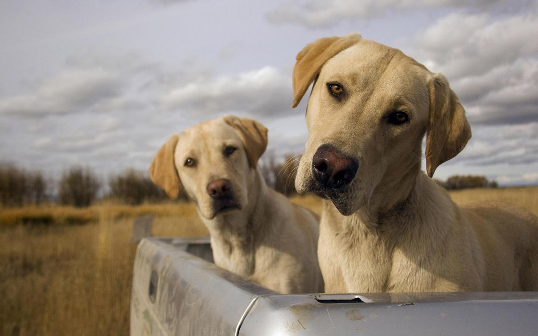 Yellow Labrador Retrievers Trip   HD Wallpapers Widescreen   1440x900 1440x900
