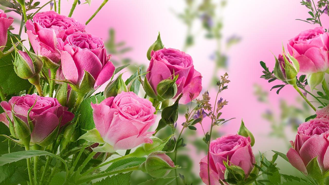rose live wallpaper 9c29ba h900jpg 1280x720