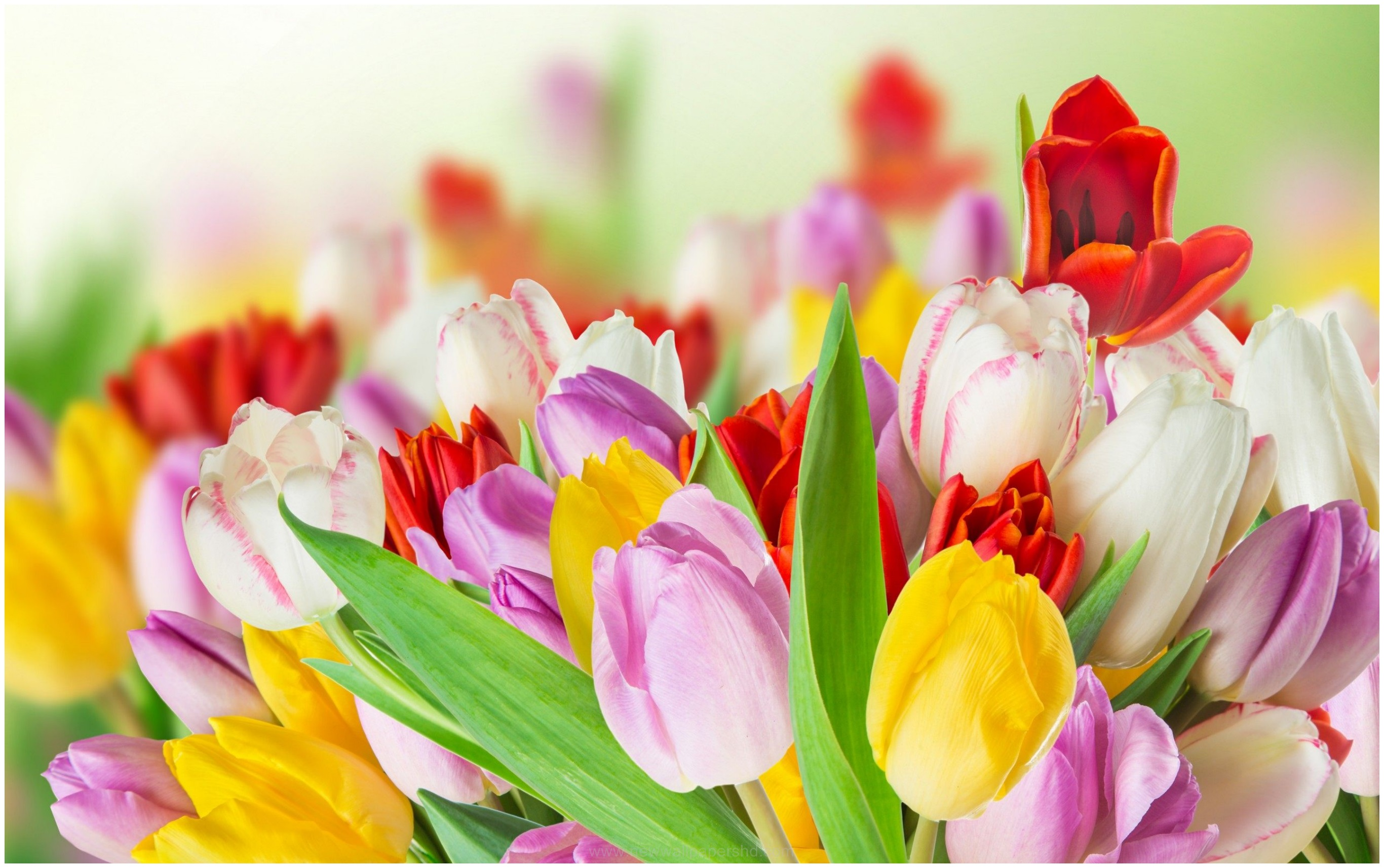 SPRING TULIPS COLORFUL FLOWERS HD WALLPAPER 9HD Wallpapers 2732x1714