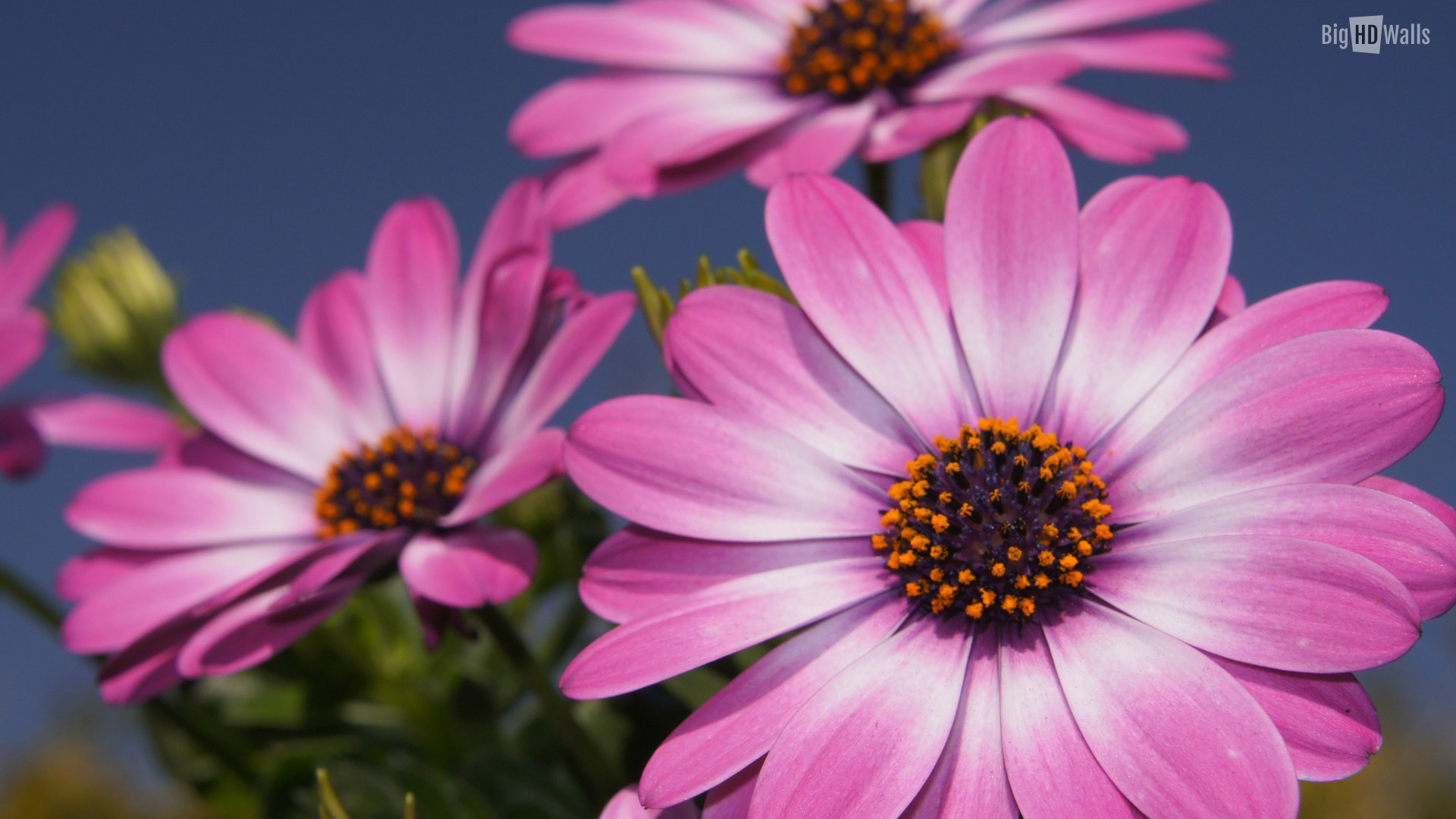 pink spring flowers HD Wallpaper006 1920x1080