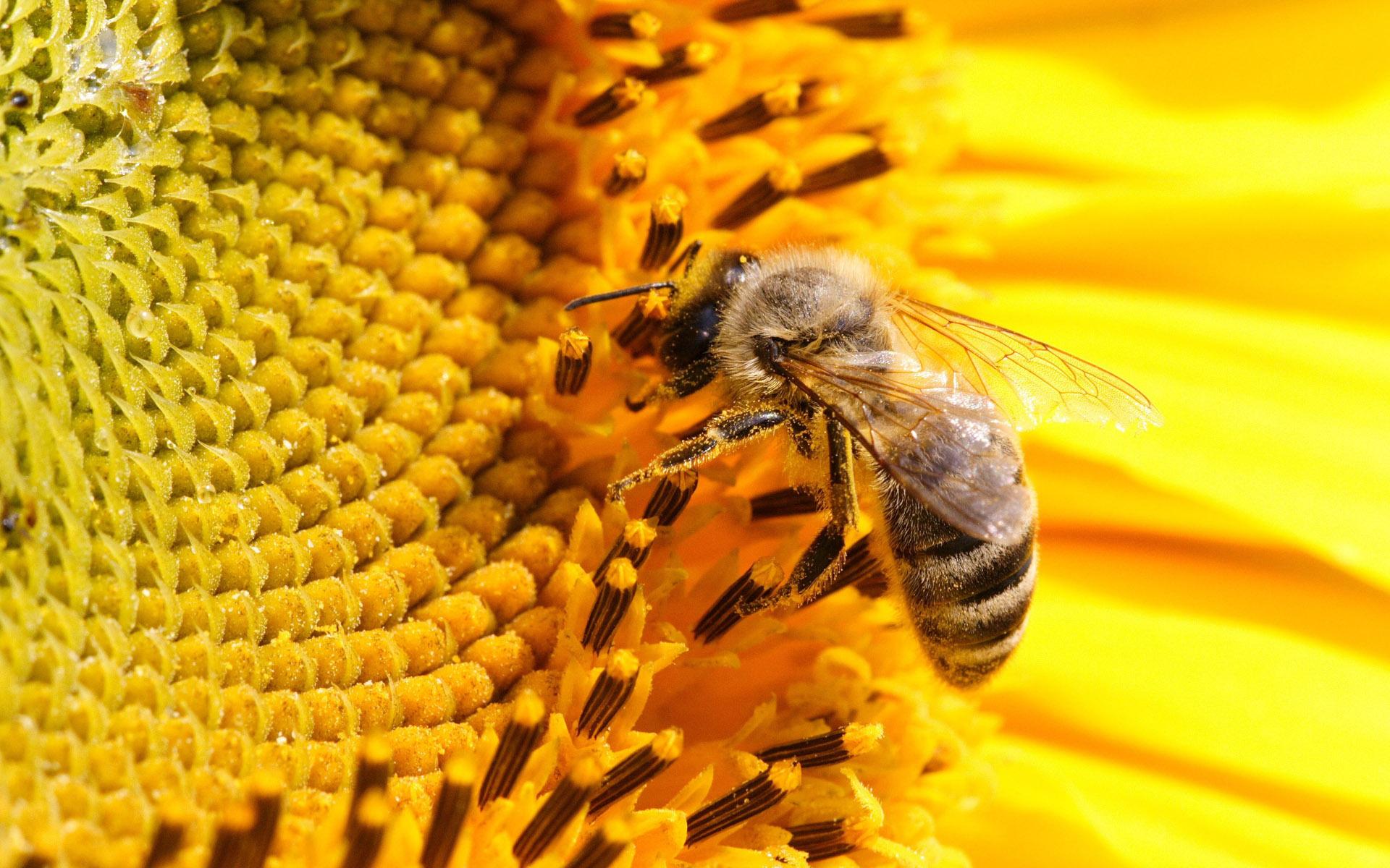 Pics Photos   Bee Wallpaper 1920x1200
