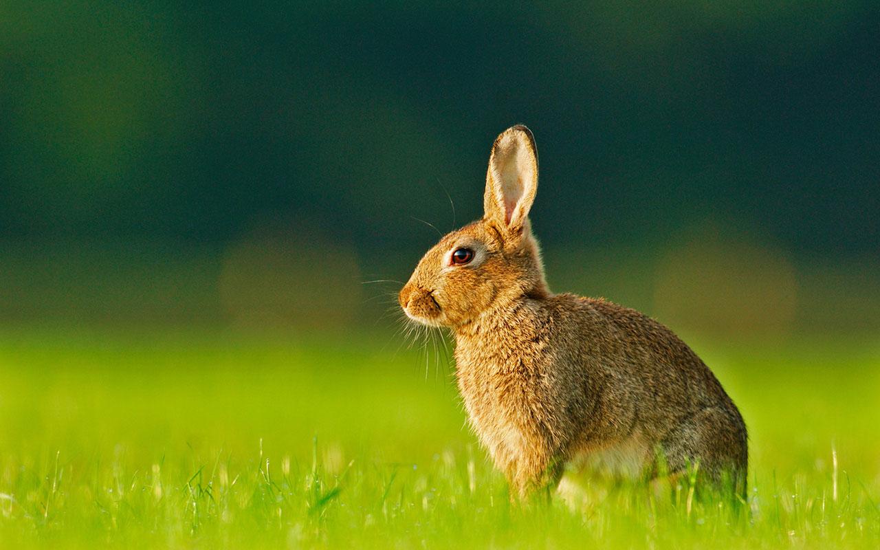 Кролик макро  № 3207689 бесплатно