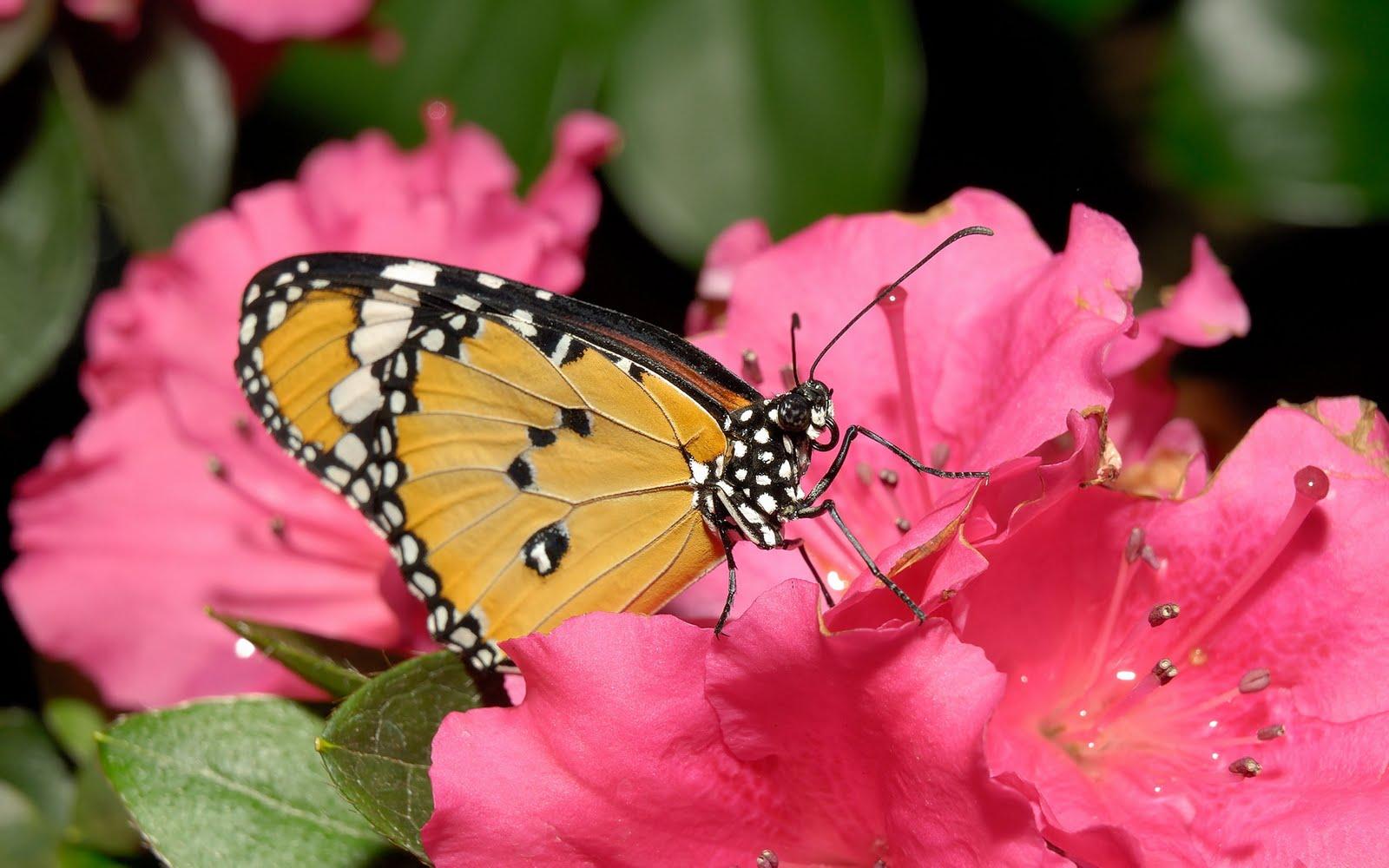Imagini Fluturi si Flori pentru Desktop   Poze Imagini Desktop 1600x1000