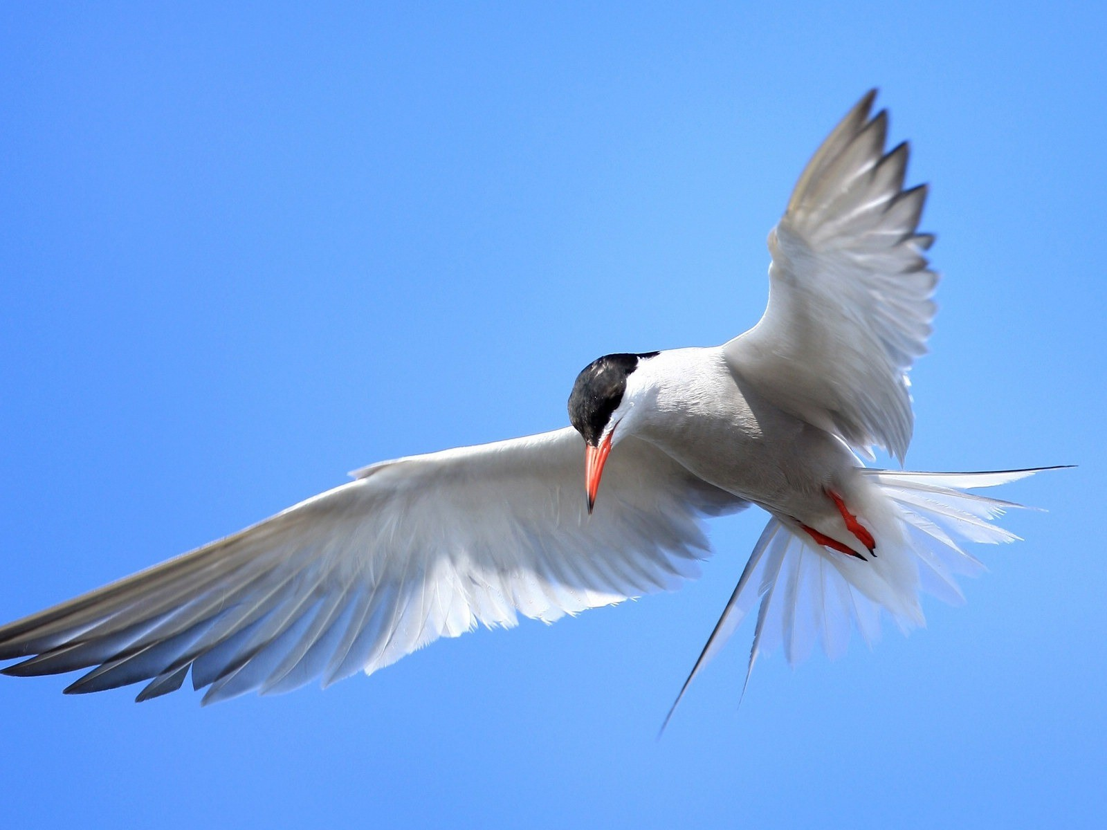 Bird in Flight   Wallpaper 44859 1600x1200