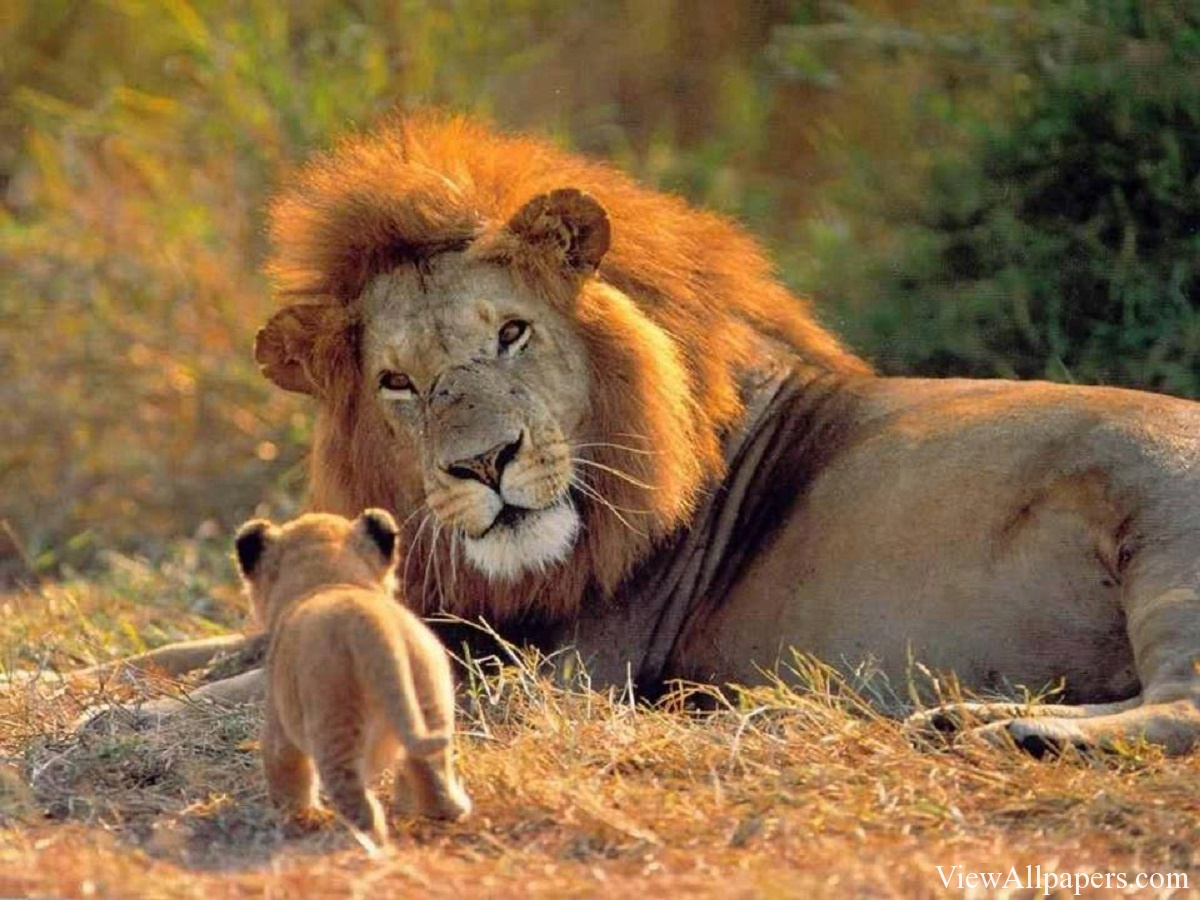 Lion And Cub High Resolution download Animal Planet Lion And Cub 1200x900