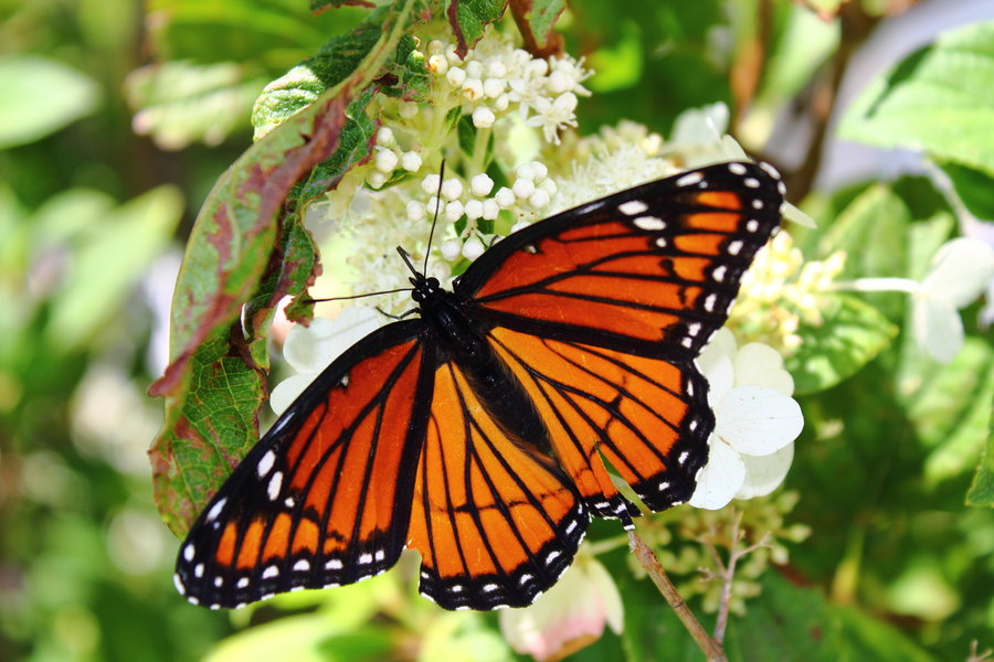 Monarch Butterfly 12 Hd Wallpaper Wallpaper 900x600