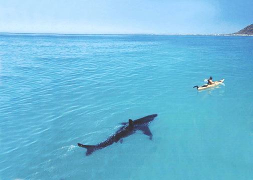 11 Great White Shark Images for Your Desktop Blaberize 505x360