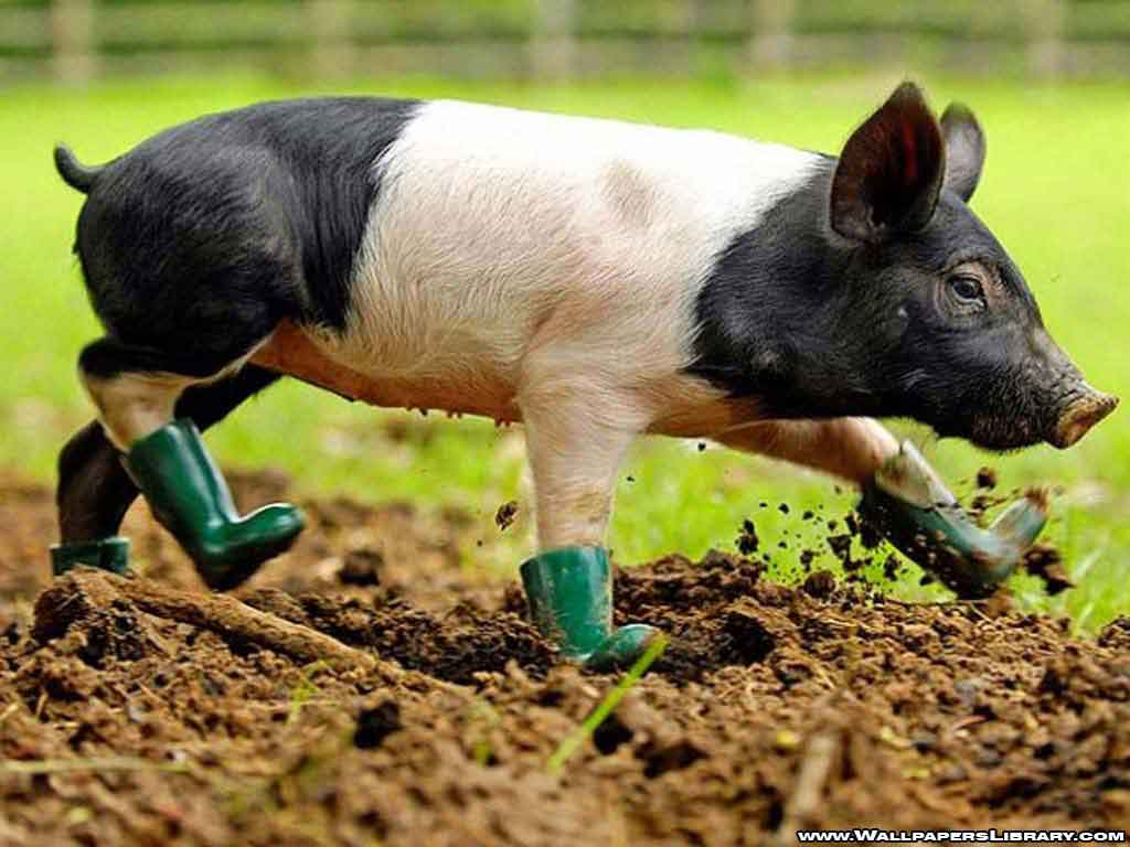 Baby Pig Wallpaper 22968 Hd Wallpapers In Animals Imagescicom 1024x768