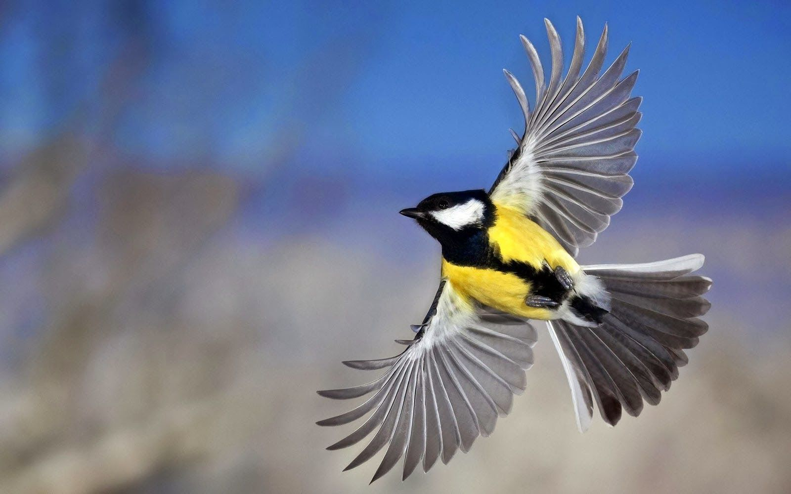 Flying Birds Wallpapers HD Yellow Belly Birds Belly Hd 1600x1000