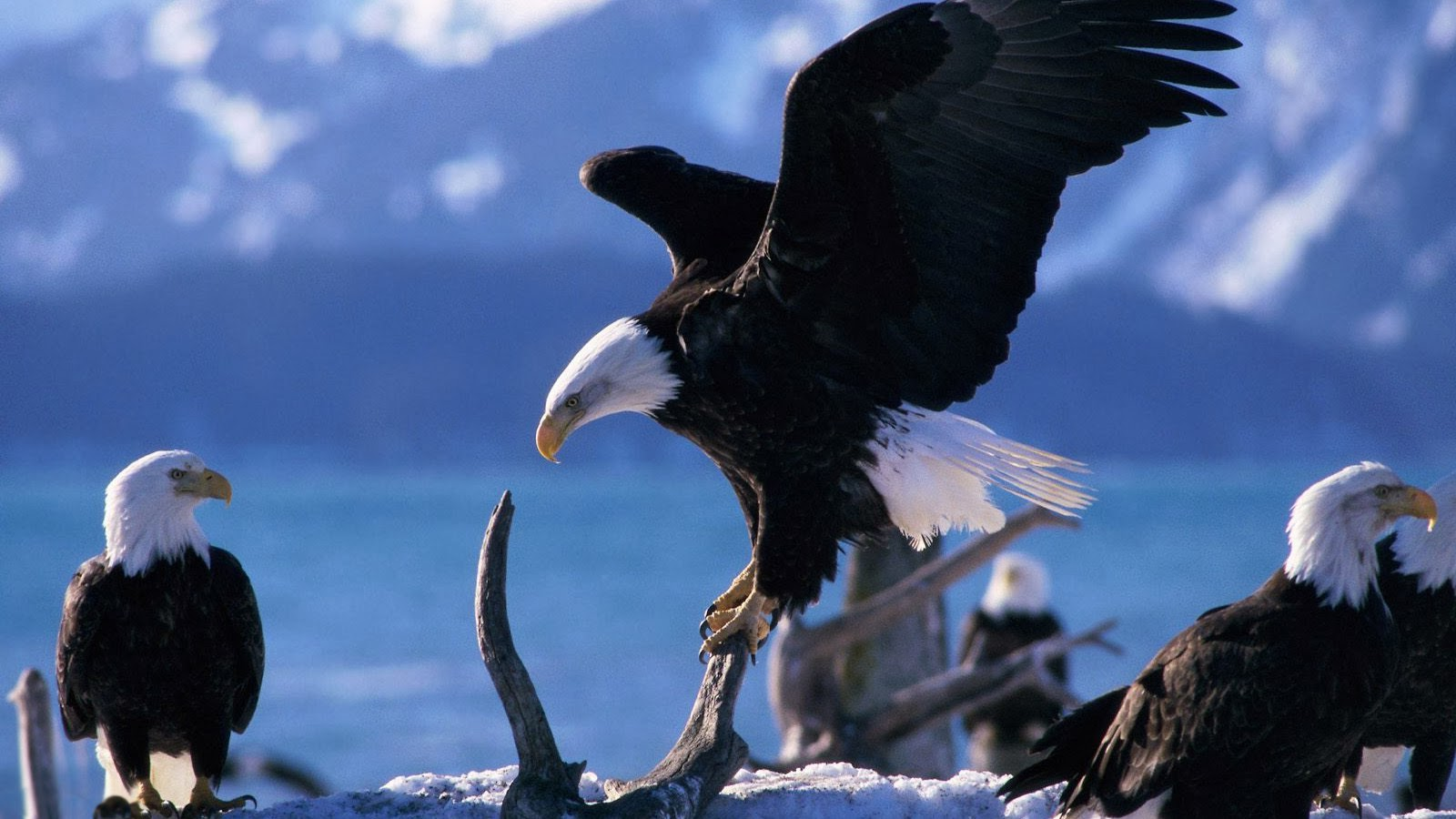 Best Top Desktop Eagle Wallpapers Hd Wallpaper Eagle Pictures Images 1600x900