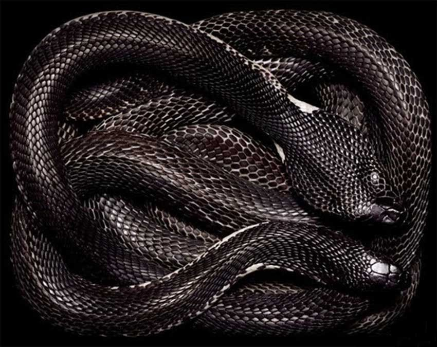 Black Snake Wallpaper
