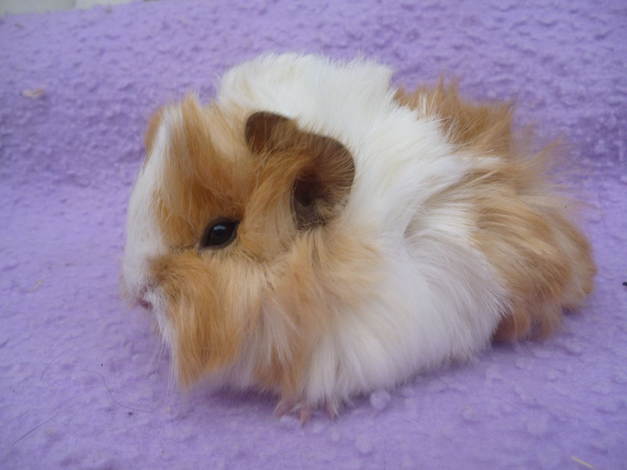 image Cute Guinea Pigs PC Android iPhone and iPad Wallpapers 1280x960