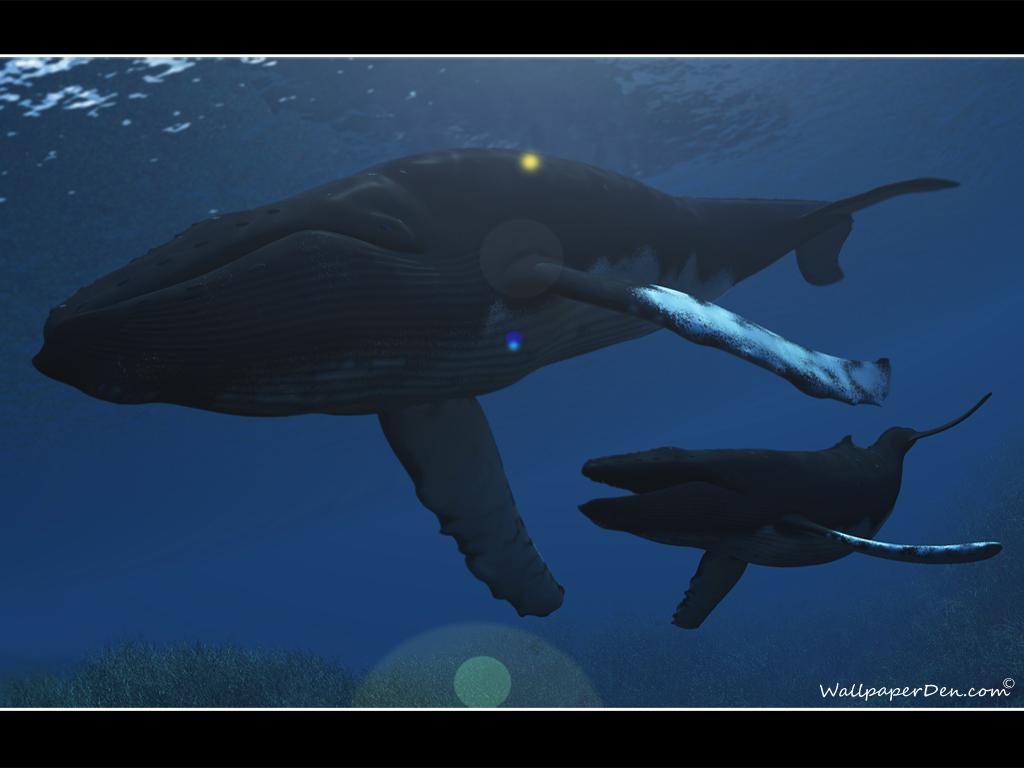 Hump Back Whale   Humpback Whales Wallpaper 32310757 1024x768