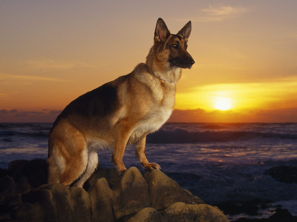 German Shepherd pc wallpaperjpeg 1024x768