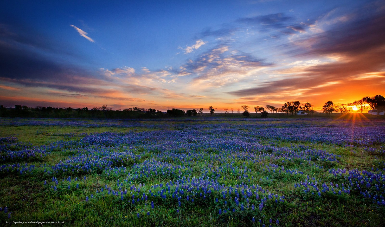 wallpaper Texas Bluebonnets sunset field desktop wallpaper 1600x943