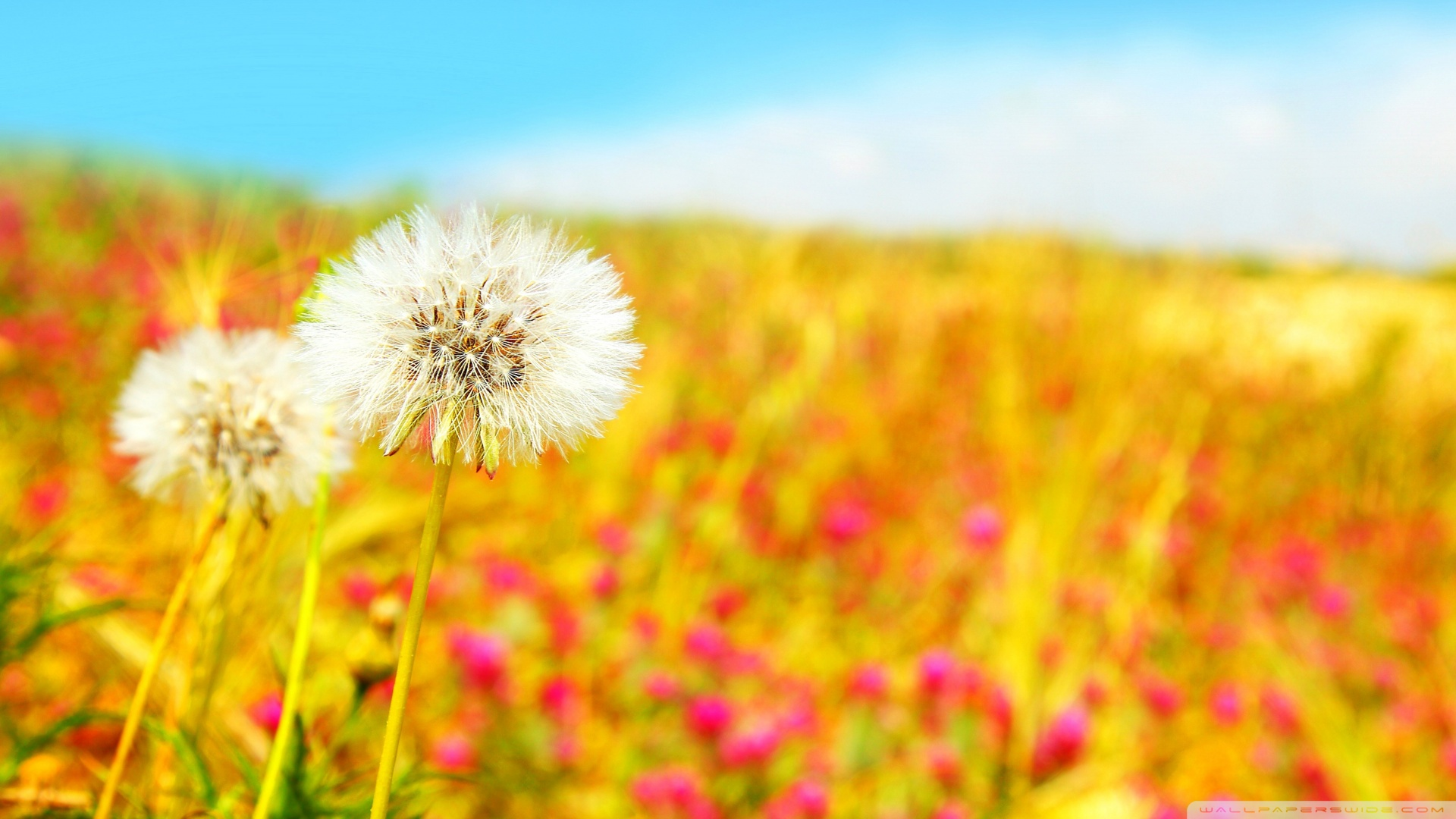 Blowing Dandelion Wallpaper Spring dandelions wallpaper 1920x1080
