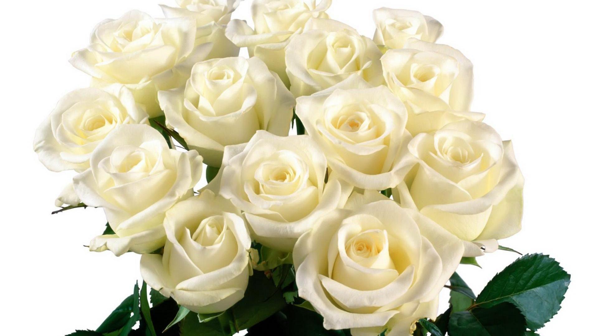 bloomed white roses wallpaper - photo #43