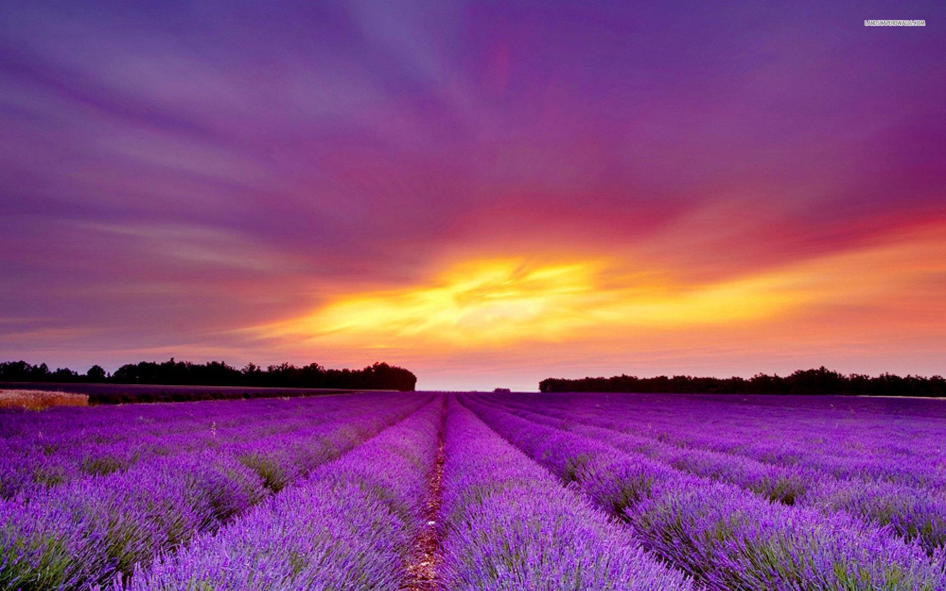 Lavender Field Purple Sunset wallpapers Lavender Field Purple 1920x1200