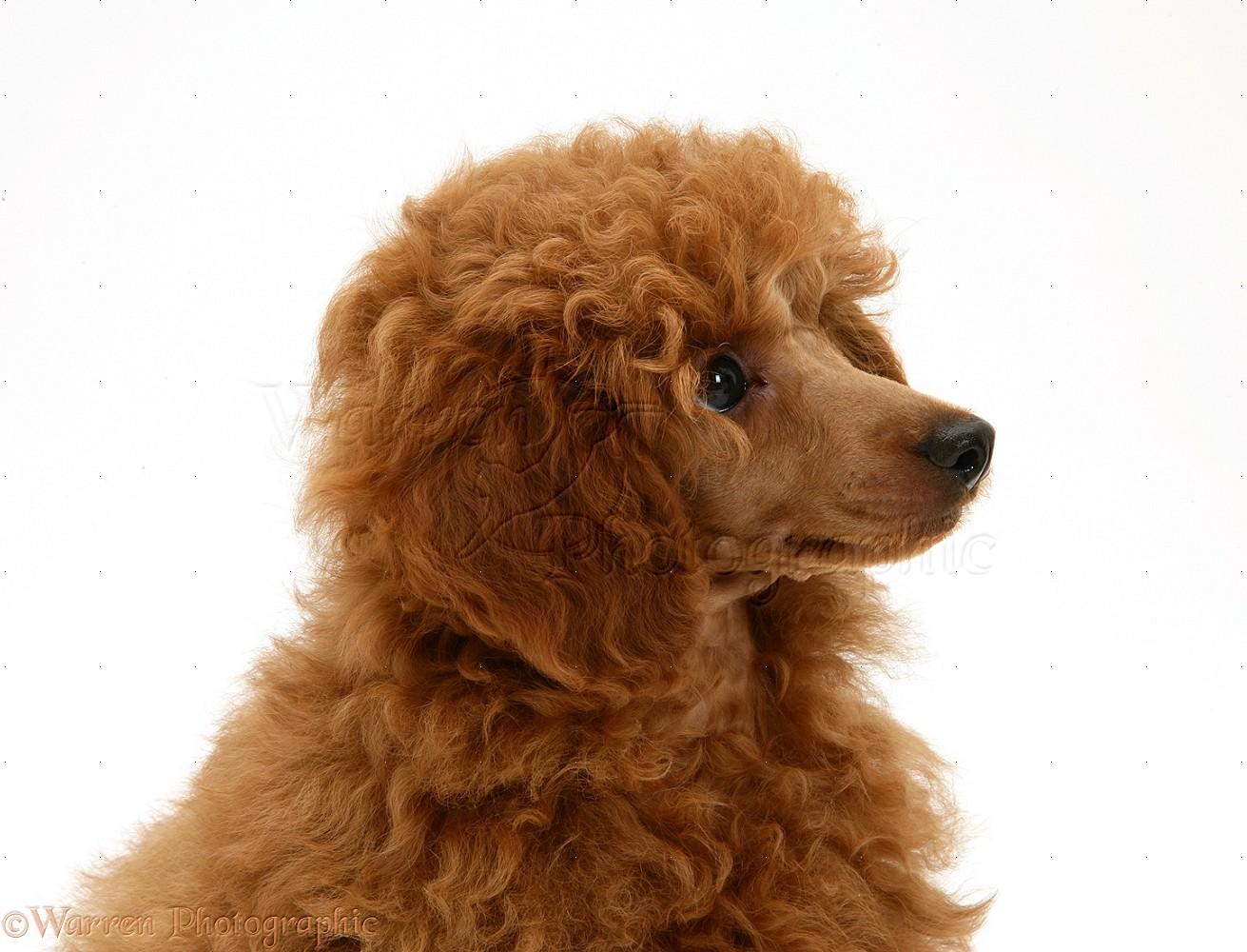 WP17190 Red Toy Poodle pup Reggie 12 weeks old 1311x1000