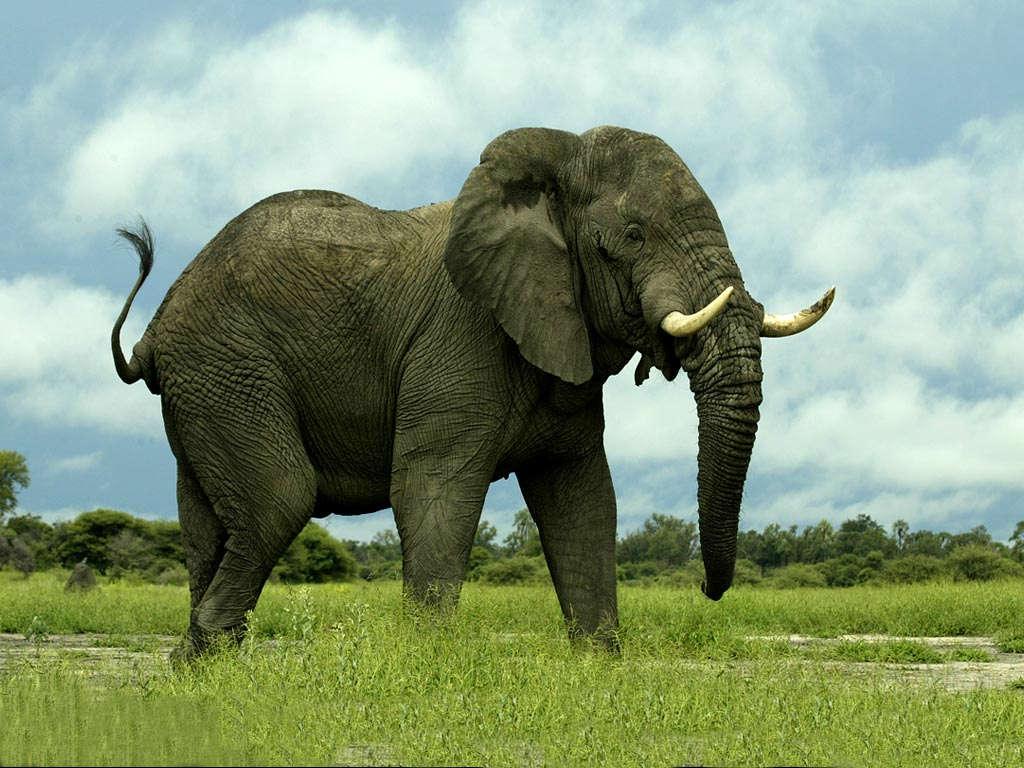 Wallpaper download elephant - African Elephant Wallpaper Elephant Wallpaper Free Download High